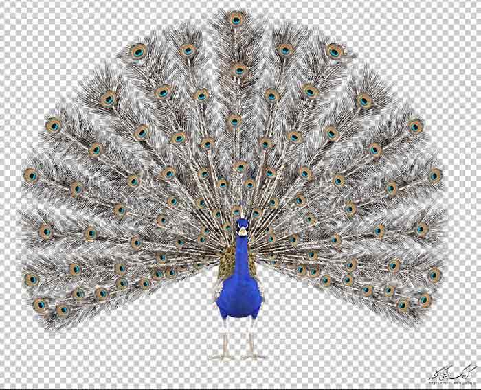 دانلود رایگان عکس طاووس دوربر شده بصورت png